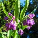 Beinwell - Symphytum officinale